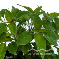 Salvia rutilans Greenbar Ananassalbei (Beitragsbild)sbild)