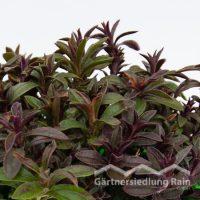 Satureia montana Greenbar Bergbohnenkraut (Beitragsbild)