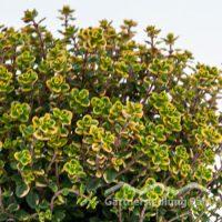 Thymus citriodorus Greenbar Zitronenthymian (Beitragsbild)