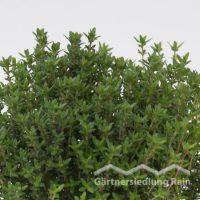 Thymus vulgaris Greenbar Echter Thymian (Beitragsbild)
