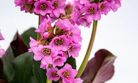 Bergenia cordifolia Bergenie (Beitragsbild)
