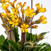 Primula polyantha Oak-Leaf Primel (Beitragsbild)