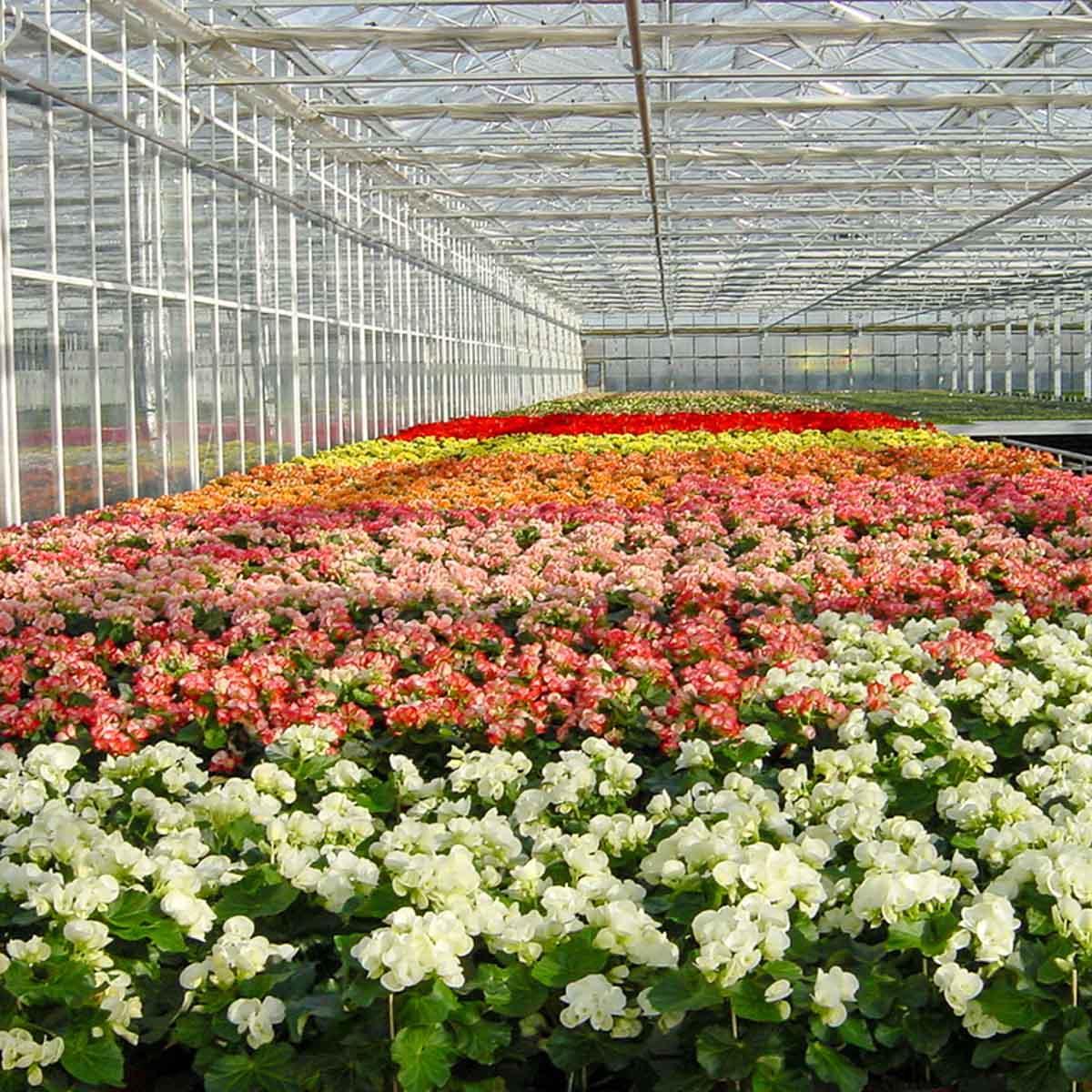 Betriebsansicht R. Bosch KG - Begonia elatior