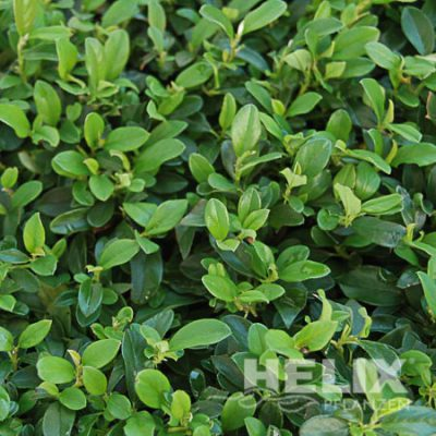 Cotoneaster dammeri Kriech-oder Zwergmispel (Beitragsbild)