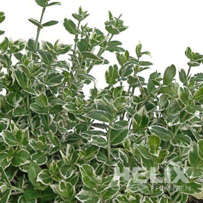 """Euonymus fortunei """"Emerald-Gaiety"""" Spindelstrauch """"Emerald-Gaiety"""" (Beitragsbild)"""