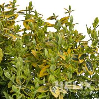 """Euonymus fortunei """"Emerald-Gold"""" Spindelstrauch """"Emerald-Gold"""" (Beitragsbild)"""