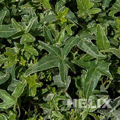 Hedera helix grün Efeu grün (Beitragsbild)