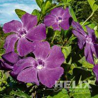 Vinca minor violett Kleinblättriges Immergrün violett (Beitragsbild)