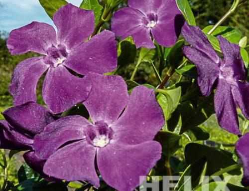 Vinca minor violett