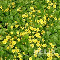 Waldsteinia ternata Teppich-Golderdbeere (Beitragsbild)