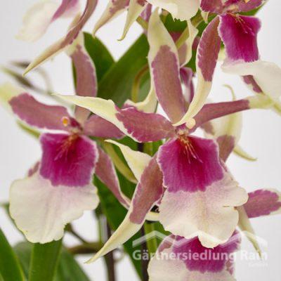 Beallara Hybriden Orchidee (Beitragsbild)