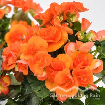 Begonia elatior Elatiorbegonie (Beitragsbild)
