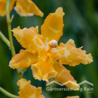 Cambria-Hybriden Orchidee (Beitragsbild)