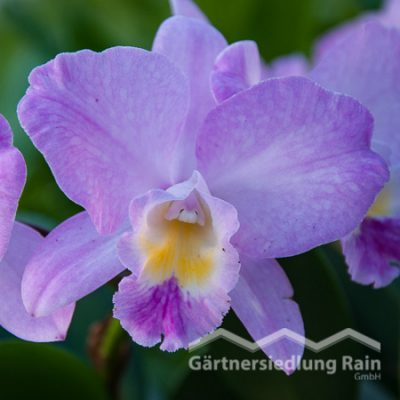 Cattleya Cultivars Orchidee (Beitragsbild)