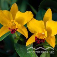 Cattley Cultivars Orchidee (Beitragsbild)