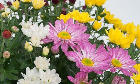 Chrysanthemum indicum Garten - Chrysantheme (Beitragsbild)
