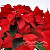 Euphorbia pulcherrima Weihnachtsstern, Poinsettie (Beitragsbild)