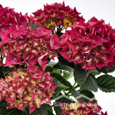 Hydrangea macrophylla Garten-Hortensie (Beitragsbild)