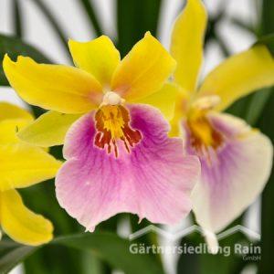 Miltonia-Hbriden Stiefmütterchen Orchidee (Beitragsbild)