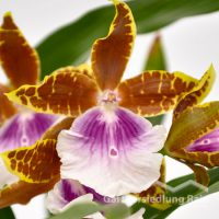 Miltonia Hybriden Stiefmütterchen Orchidee (Beitragsbild)