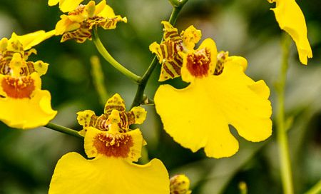 Odontoglossum-Hybriden Orchidee (Beitragsbild)