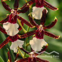 Odontonia-Hybriden Orchidee (Beitragsbild)