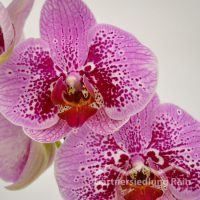 Phalenopsis Hybriden Schmetterlingsorchidee (Beitragsbild)
