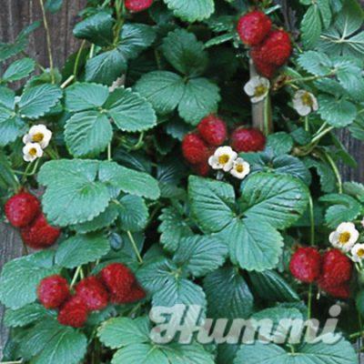 "Fragaria ananassa ""KletterToni"""" Gartenerdbeere, Ananas-Erdbeere (Beitragsbild)"