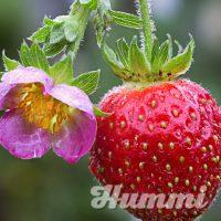 "Fragaria ananassa ""Merosa"" Gartenerdbeere, Ananas-Erdbeere (Beitragsbild)"
