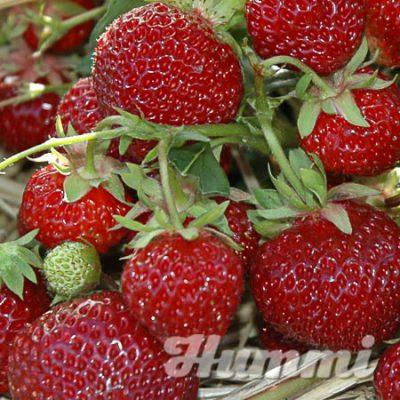 """Fragaria ananassa """"Praline"""" Gartenerdbeere, Ananas-Erdbeere(Beitragsbild)"""