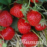 "Fragaria ananassa ""Rimona"" Gartenerdbeere, Ananas-Erdbeere(Beitragsbild)"