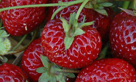 "Fragaria ananassa ""Neue Mieze"" Gartenerdbeere, Ananas-Erdbeere (Beitragsbild)"