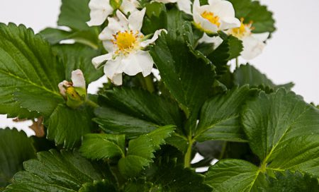 Fragaria ananassa Greenbar Gartenerdbeere, Ananas-Erdbeere (Beitragsbild)
