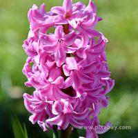 Hyacinthus orientalis Hyazinthe (Beitragsbild)