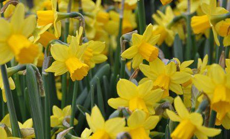 Narcissus cyclaminoides Osterglocke Têtê-à-Têtê (Beitragsbild)