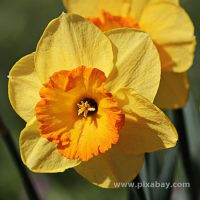 Narcissus pseudonarcissus Osterglocke (Beitragsbild)