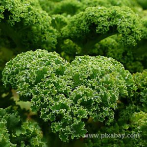 Brassica oleracea Grünkohl Beitragsbild