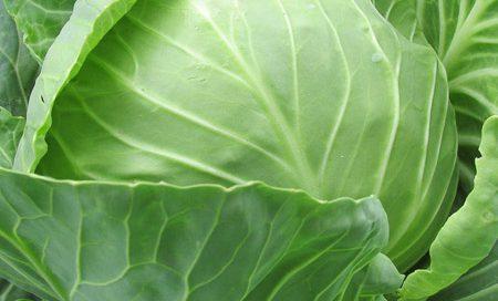 Brassica oleraceae Weißkohl Beitragsbild