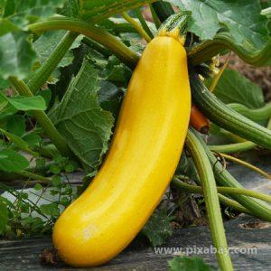 Cucurbita pepo Zucchini gelb Beitragsbild