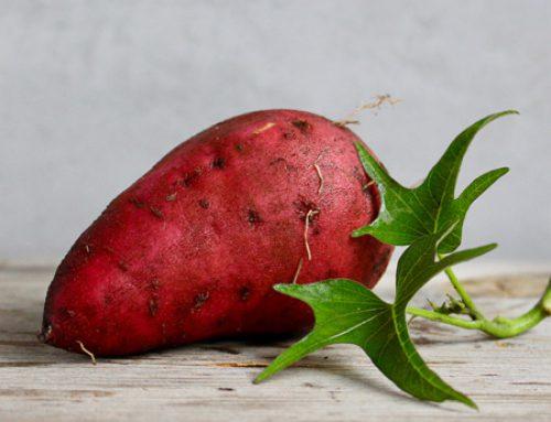 Ipomoea batatas Süßkartoffel