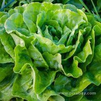 Lactuca sativa Kopfalat Beitragsbild