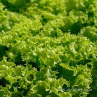 Lactuca sativa Lollo-Bionda Beitragsbild