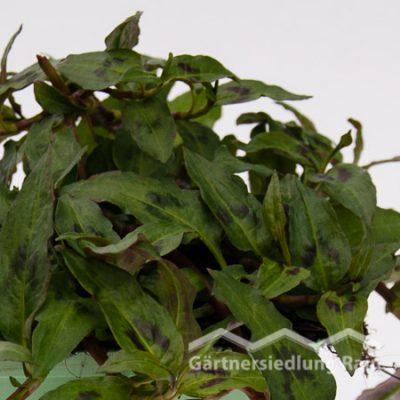 Persicaria odorata Greenbar Vietnamesischer Koriander (Beitragsbild)