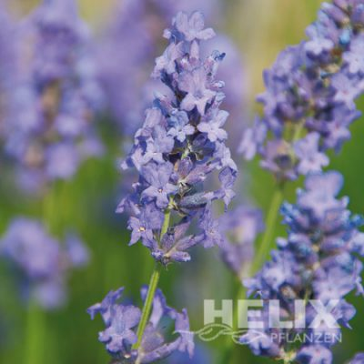 Lavandula angustifolia blau Lavendel blau