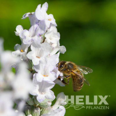 Lavandula angustifolia weiß Lavendel (Beitragsbild)