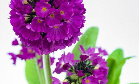 Primula denticulata - Kugelprimel (Beitragsbild)