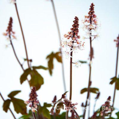 Tiarella Cultivars - Schaumblüte, Bischofskappe (Beitragsbild)